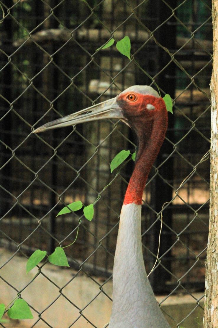 An endangered stork