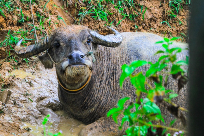 We pulled up next to this muddy ditch and looked down and saw this water buffalo.