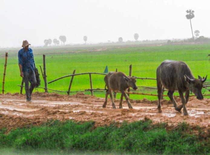 Farmer taking his cows home.