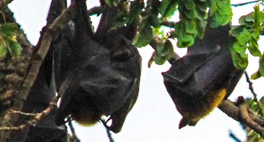 Close-up of fruit bats