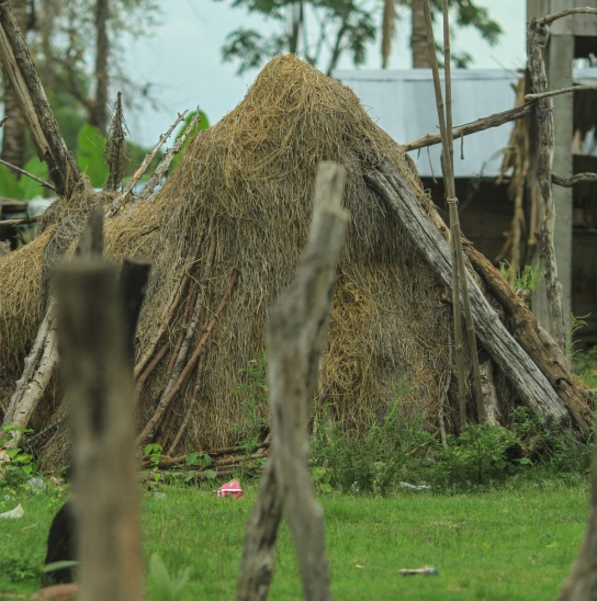 Many houses or little farms had a mound of hay in the front yard.  It was there for the animals during the rainy season.