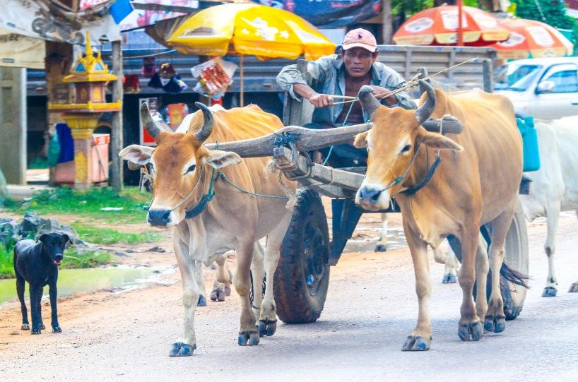 Cow transportation