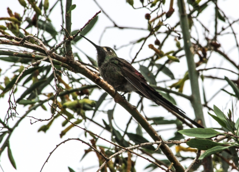 Bird with long tail