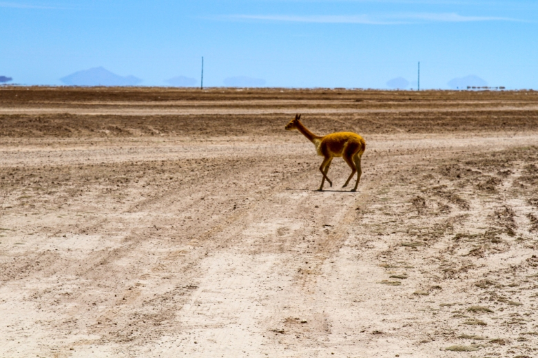 This little vicuna ran in front of us. We saw quite a few wild ones.