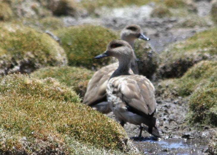 Andean goslings.