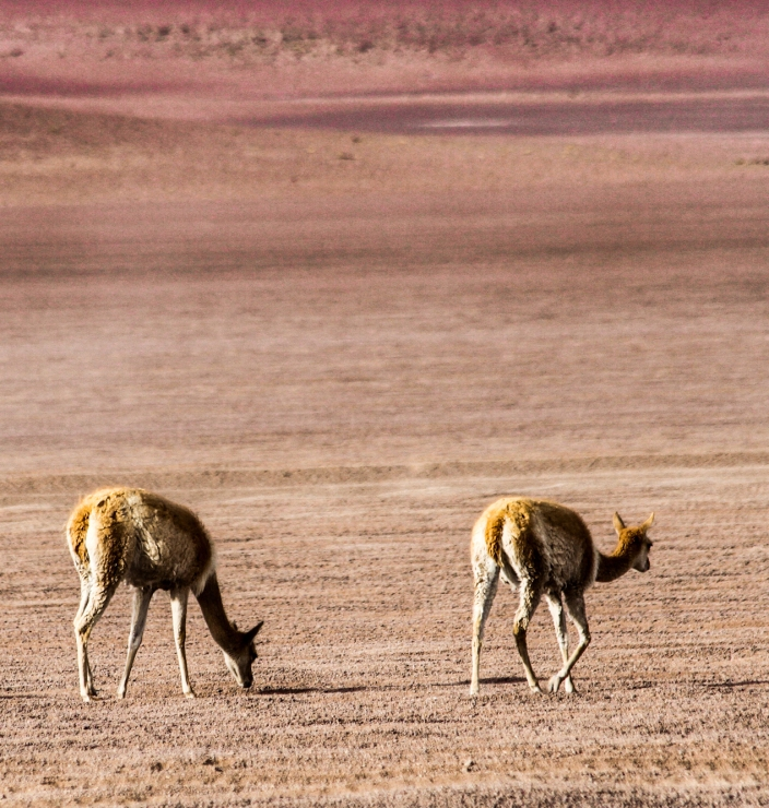 We came upon a group of vicunas.