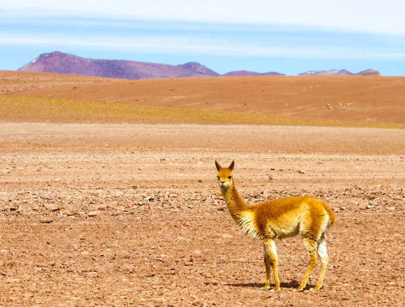 Several vicuna in the area.