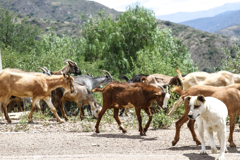 We traveled alongside a herd of goats. The dogs ran up to the car. Paola said that people often throw food to the dogs from their cars. I never really saw emaciated dogs like in other countries.