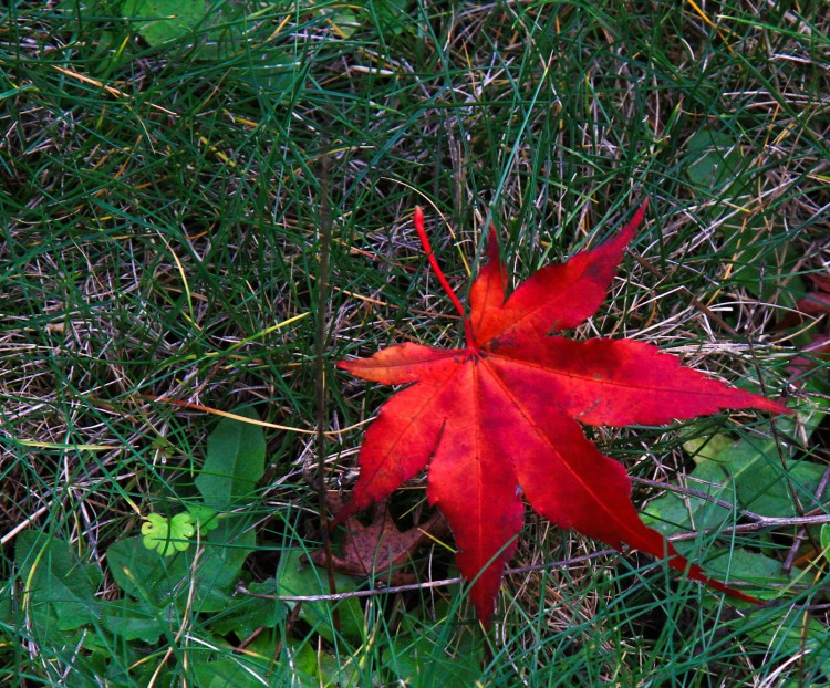 Single red fall leaf