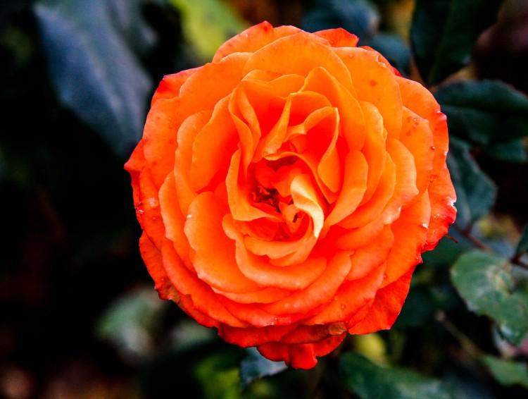 Orange rose in Oregon